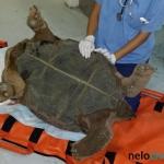 Gigantea con hipocalcemia - Preparando al animal.
